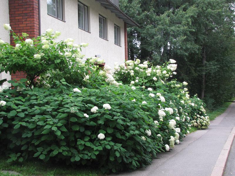 hortensiat koivikkotie p img 1126 sp